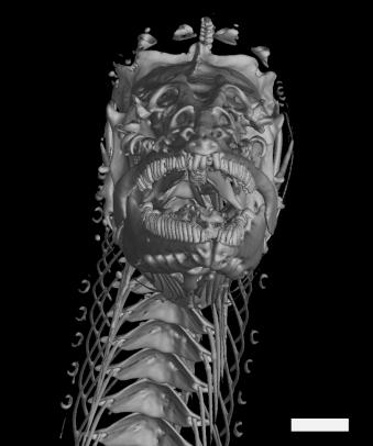 AMNHPythonichthys, assym front B